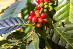 Κόκκινος και πράσινος φρέσκος καφές Στοκ εικόνα με δικαίωμα ελεύθερης χρήσης