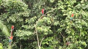 Κόκκινος-και-πράσινο chloropterus Macaws Ara στην πάλη κλάδων στο εθνικό πάρκο Manu, Περού, παπαγάλοι που συλλέγει κοντά στο γλεί απόθεμα βίντεο