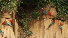 Κόκκινος-και-πράσινο chloropterus Macaws Ara στο γλείψιμο αργίλου στο εθνικό πάρκο Manu, Περού, παπαγάλοι που συλλέγει για να ισο απόθεμα βίντεο