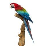 Κόκκινος-και-πράσινο macaw που σκαρφαλώνει σε έναν κλάδο, που απομονώνεται Στοκ Φωτογραφίες