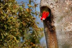 Κόκκινος-και-πράσινο Macaw, chloroptera Ara, στο σκούρο πράσινο δασικό βιότοπο Μεγάλος κόκκινος παπαγάλος, μύγα από την τρύπα φωλ Στοκ Εικόνες