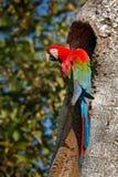 Κόκκινος-και-πράσινο Macaw, chloroptera Ara, στο σκούρο πράσινο δασικό βιότοπο Όμορφος παπαγάλος macaw από Panatanal, Βραζιλία Πο Στοκ Εικόνες
