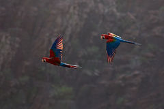 Κόκκινος-και-πράσινο Macaw, chloroptera Ara, στο σκούρο πράσινο δασικό βιότοπο Όμορφος παπαγάλος macaw από Panatanal, Βραζιλία Πο Στοκ Φωτογραφία