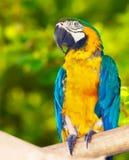Κόκκινος-και-πράσινο Macaw (chloropterus Ara) Στοκ Φωτογραφία