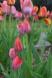 Κόκκινος και χλωμός - ρόδινες τουλίπες στον κήπο Στοκ φωτογραφία με δικαίωμα ελεύθερης χρήσης