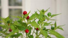 Κόκκινος - καυτές στρογγυλές εγκαταστάσεις πιπεριών τσίλι απόθεμα βίντεο