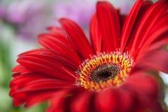 Κόκκινος - καυτό λουλούδι Στοκ Φωτογραφίες