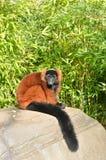 Κόκκινος κερκοπίθηκος Στοκ φωτογραφία με δικαίωμα ελεύθερης χρήσης