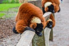 Κόκκινος κερκοπίθηκος Ruffed στο ζωολογικό κήπο Άμστερνταμ Artis οι Κάτω Χώρες Στοκ Εικόνες