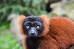 Κόκκινος κερκοπίθηκος Ruffed στο ζωολογικό κήπο Άμστερνταμ Artis οι Κάτω Χώρες Στοκ εικόνες με δικαίωμα ελεύθερης χρήσης