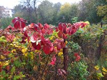 κόκκινος κισσός φθινοπώρου στο φράκτη Στοκ Εικόνες
