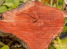κόκκινος κορμός Στοκ φωτογραφία με δικαίωμα ελεύθερης χρήσης