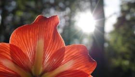 Κόκκινος κρίνος με τον ήλιο που λάμπει κατευθείαν Στοκ φωτογραφίες με δικαίωμα ελεύθερης χρήσης