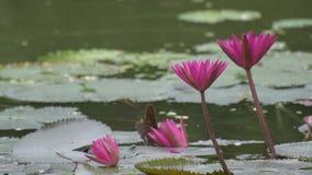 Κόκκινος κρίνος νερού, εθνικό λουλούδι της Σρι Λάνκα και του Μπανγκλαντές απόθεμα βίντεο