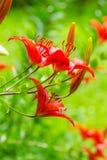 Κόκκινος κρίνος Στοκ φωτογραφία με δικαίωμα ελεύθερης χρήσης
