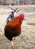 Κόκκινος κόκκορας στο ξηρό δικαίωμα Στοκ φωτογραφίες με δικαίωμα ελεύθερης χρήσης