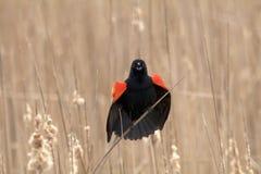 Κόκκινος κότσυφας φτερών Στοκ φωτογραφία με δικαίωμα ελεύθερης χρήσης