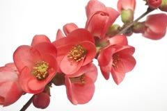 Κόκκινος κλάδος λουλουδιών Στοκ εικόνες με δικαίωμα ελεύθερης χρήσης