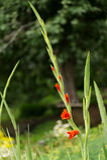 Κόκκινος κλαδίσκος gladiolus Στοκ εικόνες με δικαίωμα ελεύθερης χρήσης