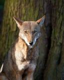 κόκκινος λύκος Στοκ φωτογραφία με δικαίωμα ελεύθερης χρήσης