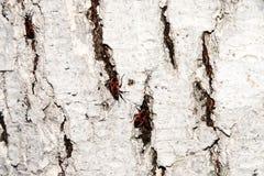 Κόκκινος-μαύρος κάνθαρος Λεύκανση του φλοιού του παλαιού ραγισμένου ξύλου Στοκ Φωτογραφίες