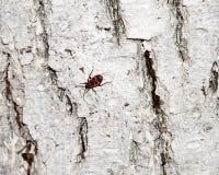 Κόκκινος-μαύρος κάνθαρος Λεύκανση του φλοιού του παλαιού ραγισμένου ξύλου Στοκ εικόνα με δικαίωμα ελεύθερης χρήσης