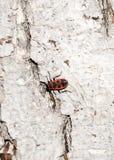 Κόκκινος-μαύρος κάνθαρος Λεύκανση του φλοιού του παλαιού ραγισμένου ξύλου Στοκ εικόνες με δικαίωμα ελεύθερης χρήσης