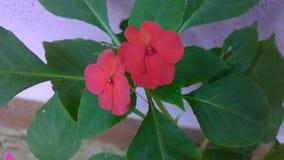 κόκκινος μικρός λουλο&upsi στοκ φωτογραφία με δικαίωμα ελεύθερης χρήσης