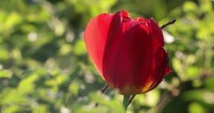 Κόκκινος οφθαλμός λουλουδιών στο ναυπηγείο το καλοκαίρι απόθεμα βίντεο