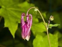 Κόκκινος οφθαλμός λουλουδιών του ευρωπαϊκού ή κοινού columbine, Aquilegia vulgaris, με την κινηματογράφηση σε πρώτο πλάνο υποβάθρ Στοκ Φωτογραφία