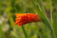 Κόκκινος οφθαλμός gladiolus Στοκ Φωτογραφίες
