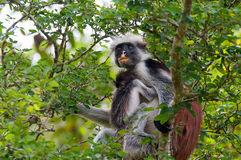 Κόκκινος πίθηκος με το κουτάβι Στοκ εικόνες με δικαίωμα ελεύθερης χρήσης