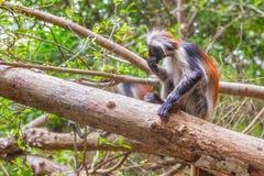 Κόκκινος πίθηκος colobus (kirki Piliocolobus) Στοκ φωτογραφία με δικαίωμα ελεύθερης χρήσης