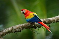 Κόκκινος παπαγάλος ερυθρό Macaw, Ara Μακάο, συνεδρίαση πουλιών στον κλάδο, Βραζιλία Σκηνή άγριας φύσης από τον τροπικό δασικό όμο Στοκ Εικόνες