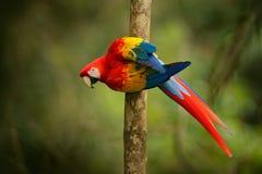Κόκκινος παπαγάλος ερυθρό Macaw, Ara Μακάο, συνεδρίαση πουλιών στον κλάδο, Βραζιλία Σκηνή άγριας φύσης από τον τροπικό δασικό όμο Στοκ Φωτογραφία
