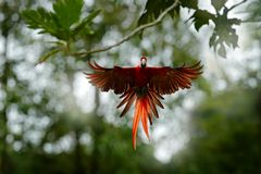 Κόκκινος παπαγάλος που πετά στη σκούρο πράσινο βλάστηση με το όμορφο πίσω φως, Ερυθρό Macaw, Ara Μακάο, στο τροπικό δάσος, Κολομβ Στοκ φωτογραφία με δικαίωμα ελεύθερης χρήσης