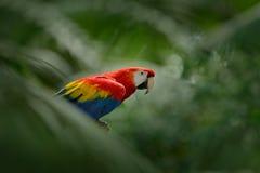 Κόκκινος παπαγάλος στην πράσινη βλάστηση Ερυθρό Macaw, Ara Μακάο, στο σκούρο πράσινο τροπικό δάσος, Κόστα Ρίκα, σκηνή άγριας φύση Στοκ Εικόνες