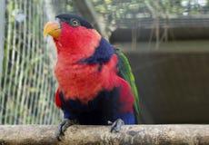 Κόκκινος παπαγάλος της Lori στοκ φωτογραφίες με δικαίωμα ελεύθερης χρήσης