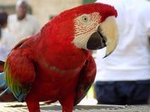 Κόκκινος παπαγάλος στοκ φωτογραφία