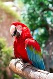 Κόκκινος παπαγάλος Στοκ φωτογραφίες με δικαίωμα ελεύθερης χρήσης
