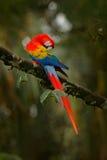 Κόκκινος παπαγάλος ερυθρό Macaw, Ara Μακάο, στο πράσινο τροπικό δάσος, Κόστα Ρίκα, σκηνή άγριας φύσης από την τροπική φύση Άγρια  Στοκ εικόνες με δικαίωμα ελεύθερης χρήσης