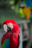 Κόκκινος παπαγάλος Στοκ Εικόνα