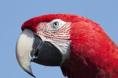 Κόκκινος παπαγάλος macaw Στοκ Φωτογραφία