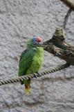 Κόκκινος-παρακολουθημένοι Αμαζόνιος - brasiliensis Amazona Στοκ εικόνα με δικαίωμα ελεύθερης χρήσης