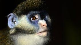 Κόκκινος-παρακολουθημένος πίθηκος στοκ φωτογραφία