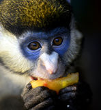 Κόκκινος-παρακολουθημένος πίθηκος στοκ φωτογραφία με δικαίωμα ελεύθερης χρήσης