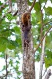 Κόκκινος-παρακολουθημένος σκίουρος/Κόστα Ρίκα/Cahuita Στοκ Φωτογραφίες