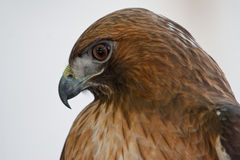 Κόκκινος-παρακολουθημένο γεράκι Στοκ Εικόνες