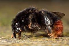 Κόκκινος-παρακολουθημένο bumblebee (lapidarius Bombus) στο σχεδιάγραμμα Στοκ εικόνα με δικαίωμα ελεύθερης χρήσης