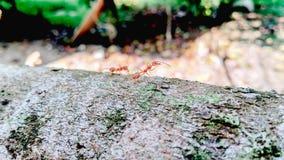 Κόκκινος περίπατος μυρμηγκιών κινηματογραφήσεων σε πρώτο πλάνο στο δέντρο στοκ εικόνες